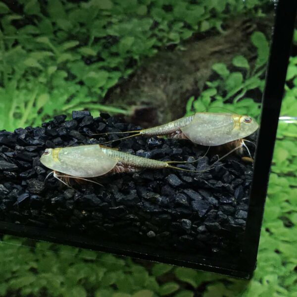 Triops with black rock culture