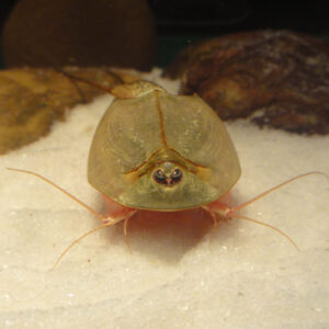 Triops with sand